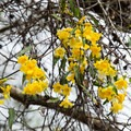 Yellow jessamine blooming in early spring.- Whiskey Chitto Creek