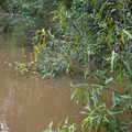 Vegetation along the bank is accustomed to flooding.- Whiskey Chitto Creek