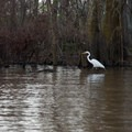 A great egret fishing near the shore.- Henderson Swamp Paddling
