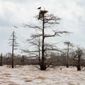 Nesting osprey and another in flight.- Henderson Swamp Paddling