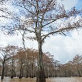 Cypress leaves begin to bud out in early spring. - Henderson Swamp Paddling