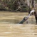 A mud turtle seeking sun on Franklin Canal.- Franklin + Bayou Teche Paddle Trails