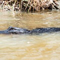 American alligator in Bayou Teche National Wildlife Refuge.- Franklin + Bayou Teche Paddle Trails