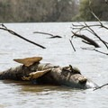 A slider turtle dwarfed by some very large fungus.- Franklin + Bayou Teche Paddle Trails