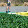 Paddleboarding among the vegetation on Bayou Teche.- Franklin + Bayou Teche Paddle Trails