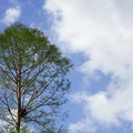 Cypress tree leafing out in the warmth of spring.- Franklin + Bayou Teche Paddle Trails