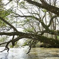 Large live oak reaching over the canal.- Franklin + Bayou Teche Paddle Trails