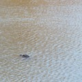Alligator in the oxbow.- Bayou Macon