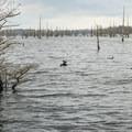 American coots are abundant near the lakeshore.- Black Bayou Lake Canoe Trail