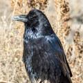 Raven at Pueblo Bonito.- Pueblo Bonito