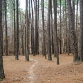 Smooth singletrack in a stand of longleaf pine.- Lincoln Parish Park
