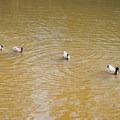 Ducks on the pond.- Lincoln Parish Park