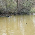 Turtles catching early spring sun.- Lincoln Parish Park