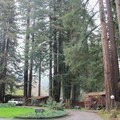Cabins are spread out below towering redwood trees.- Fern River Resort