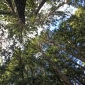 The upward view, Forest of Nisene Marks State Park.- Forest of Nisene Marks State Park