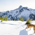 Dogs love playing in the snow too!- Mount Harvey