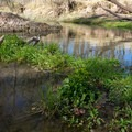 Greenery in the water of the San Pedro River.- San Pedro River Trails