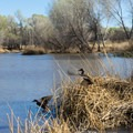 Ducks flying into the pond.- San Pedro River Trails