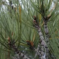 The needles of the Torrey pine occur in bundles of five.- Santa Rosa Island's Torrey Pines