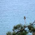 Western meadowlark caught mid-song.- Santa Rosa Island's Torrey Pines