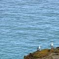 Channel Island's infamous bird resident - seagulls.- Santa Rosa Island's Torrey Pines