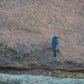 Mexican jay spotted along the trail.- Lost Mine Trail