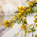 Mesquite blossoms along the river in early spring.- Boquillas Canyon Trail