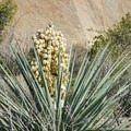 Flowering yucca along the way.- Devils Den