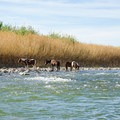 Horses drinking on the Mexico side of the river.- Hot Springs Historic Site