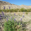 Wild lupine blooming in spring.- Santa Elena Canyon of the Rio Grande