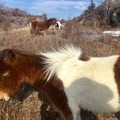 Wild ponies along the the Appalachian Trail and the Grayson Highlands Loop.- Grayson Highlands Backpacking Loop