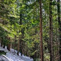 Rich forest colors in the spring sunshine.- Excelsior Pass Snowshoe