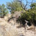 Mule deer sharing the trail in the Chisos Basin.- Emory Peak via Pinnacles Trail