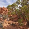 Nice juniper specimen. - Babylon Arch Trail to the Virgin River