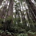 From the moment you step foot on the trail you are surrounded by towering trees.- Trees Of Mystery