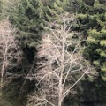 Looking down at some of the deciduous trees mixed in with the redwoods.- Trees Of Mystery