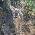 You may encounter wildlife unexpectedly close!- Chisos Basin Loop