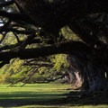 The live oak trees are believed to be at least 100 years older than the mansion.- Oak Alley Plantation
