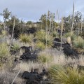 The yucca and spoon plant among the lava rock. - Malpais Nature Trail
