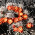 Cacti in bloom.- Malpais Nature Trail
