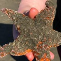 A sea star found abandoned at the top of the beach that was returned it to the tide line. - Cave Rock Scenic Viewpoint