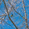 An oriole along the shoreline of Back Bay. - Lake Winnipesaukee Back Bay Paddle