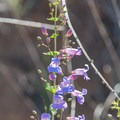 Wildflowers blooming along the trail.- Lake Poway Trail