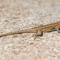 A lizard warming up in the sun.- Lake Poway Trail