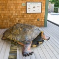Small children can climb inside this large turtle shell.- Squam Lakes Natural Science Center