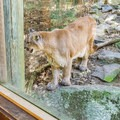 Predators are viewed through large glass windows, where you can safely observe them up close. - Squam Lakes Natural Science Center