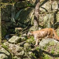 A mountain lion stalking a chipmunk.- Squam Lakes Natural Science Center