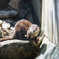 A female river otter waits patiently for feeding time.- Squam Lakes Natural Science Center
