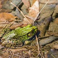 One of many frogs along the edge of Upper Pond. - Squam Lakes Natural Science Center