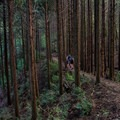 Walking through the cedar forests. These trees are all planted and the forests are very carefully managed. - The Kumano Kodo: Nakahechi Route
